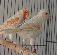 ~* روعة الغناء مع طير الكناري *~